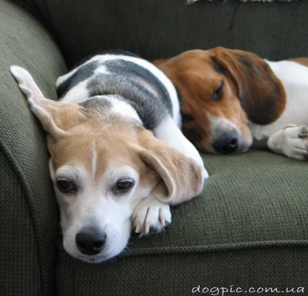 Милые и сонные щенки бигля на диване