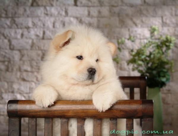 Очаровательный щенок чау-чау замечтался