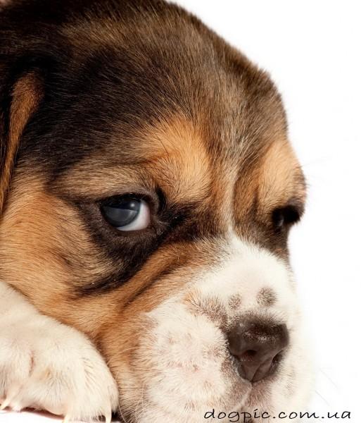Потрясающий и незабываемый взгляд щенка бигля