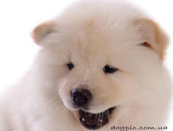 Позитивная фотография щенка чау-чау