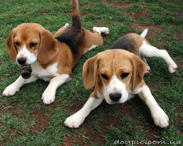 Позитивные щенки бигль играют на поляне