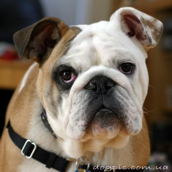 Позитивный пёс породы английского бульдога