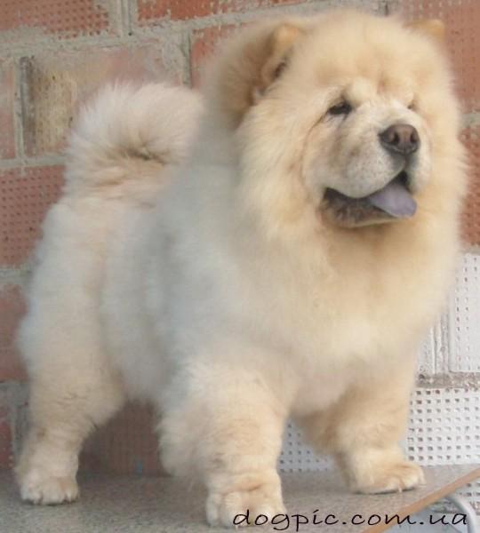 Пушистый пёс чау-чау светлого окраса