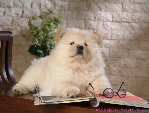 Пёс породы чау-чау читает книгу