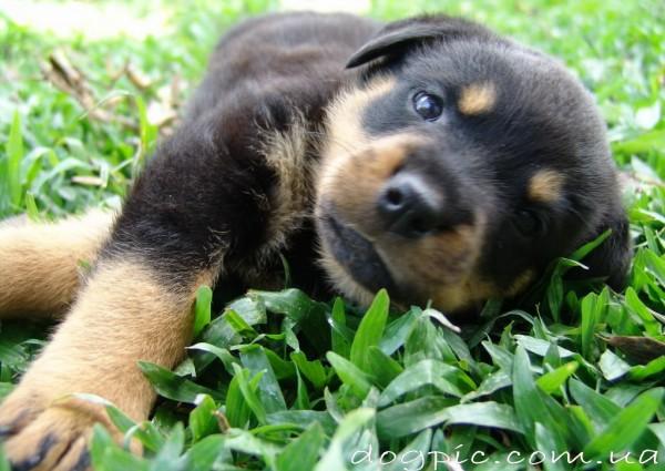 Щенок ротвейлера играет в траве