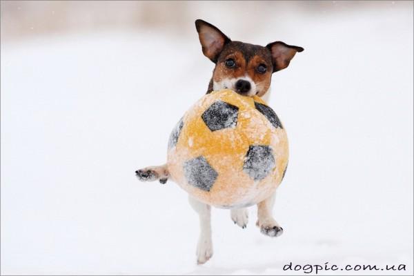 Смешной щенок Джека-Рассела терьера с мячом