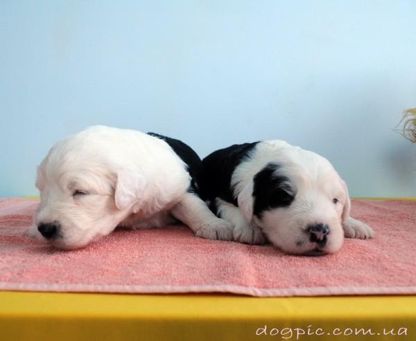 Спящие недельные щенки породы бобтейл