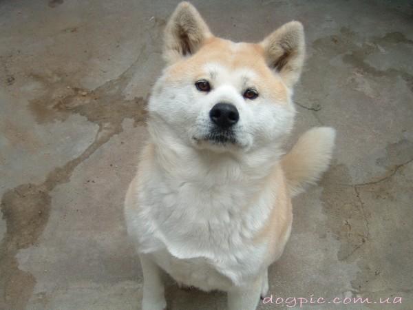 Угрожающий взгляд пса породы акита-ину