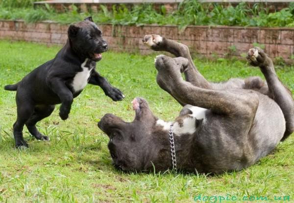 Взрослый пёс и щенок породы кане корсо