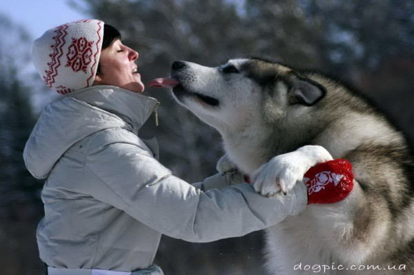 Аляскинский маламут накинулся с поцелуями к хозяйке