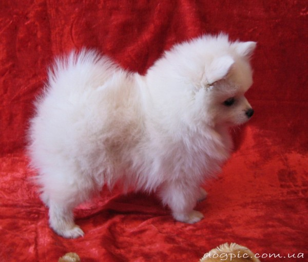 Белый щенок немецкого шпица на красном фоне