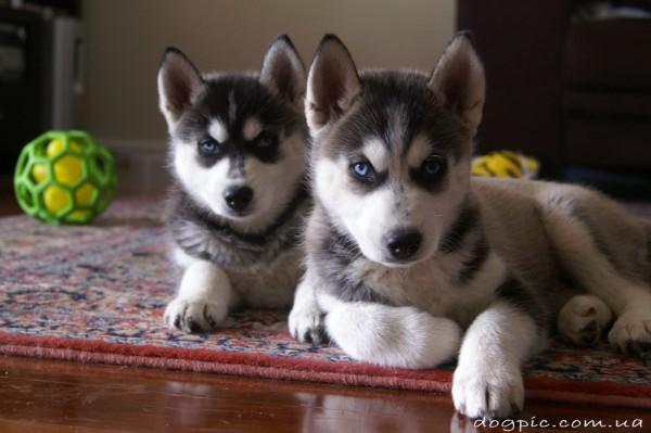 Два пёсика сибирского хаски лежат на ковре