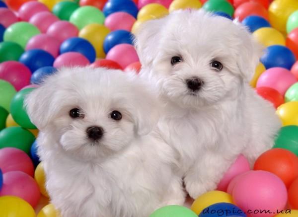 Два щенка бишон фризе в разноцветных шарах