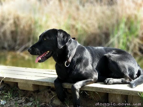 Фото чёрной собаки породы лабрадор - ретривер
