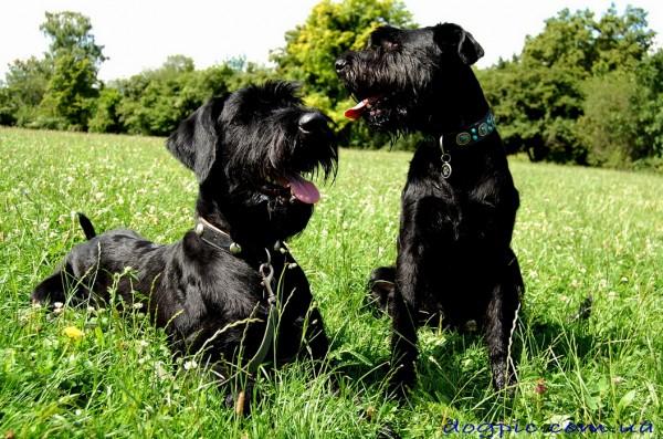 Фото чёрных щенков ризеншнауцера в траве