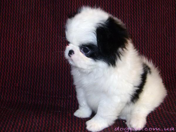Фото двухнедельного щенка породы японский хин
