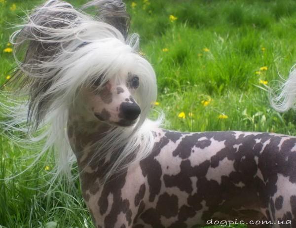 Фото китайской хохлатой собаки пятнистого окраса