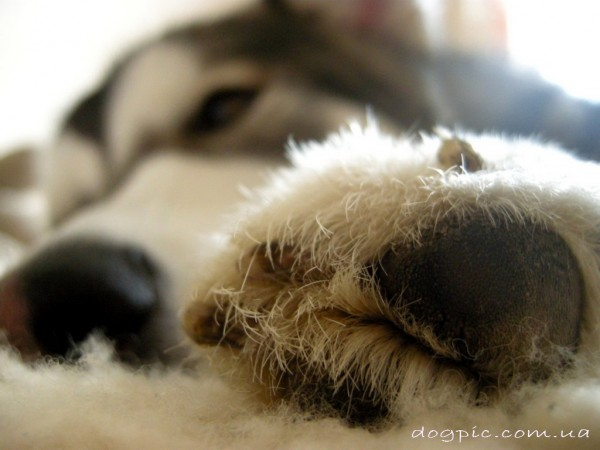 Фото лапки спящего аляскинского маламута