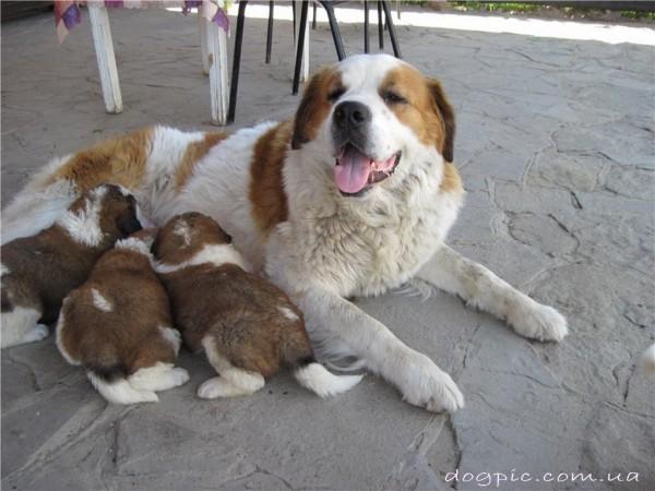 Фото мамы сенбернара с маленькими щенками