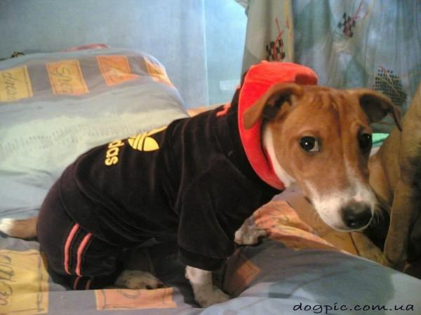 Фото - прикол пёс басенджи в спортивном костюме