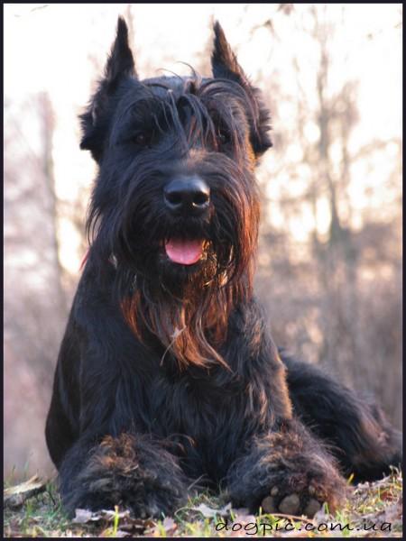 Фото пса ризеншнауцера чёрного окраса