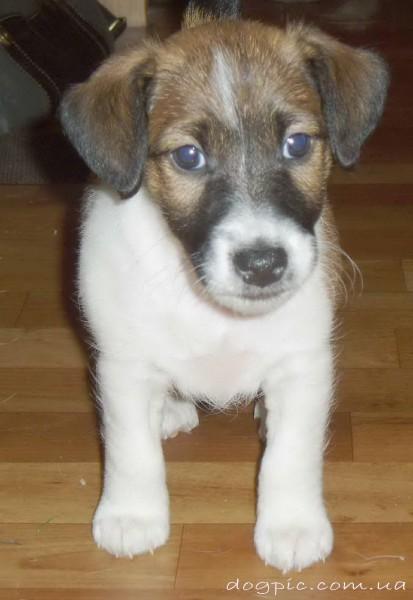Фото щенка породы фокстерьер