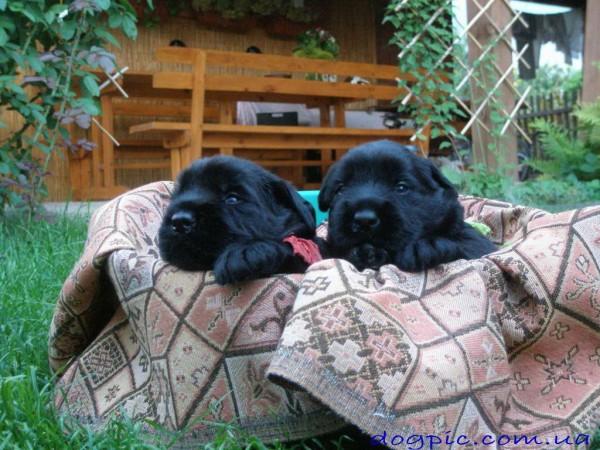 Фото щенков ризеншнауцера спящих в корзине