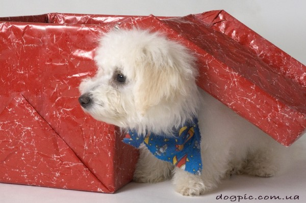 Фото щенок бишон фризе в подарочной коробке