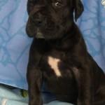 Фото щенок немецкого дога 1 месяц