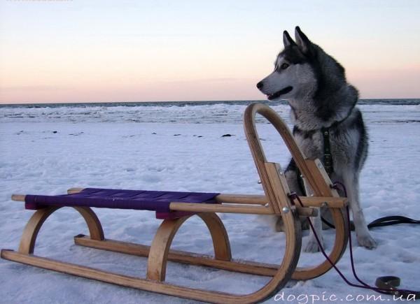 Фото сибирский хаски везёт санки