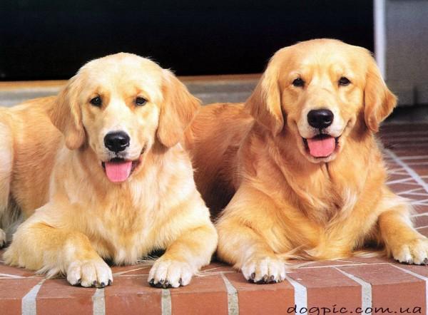Фото собак породы золотистый ретривер