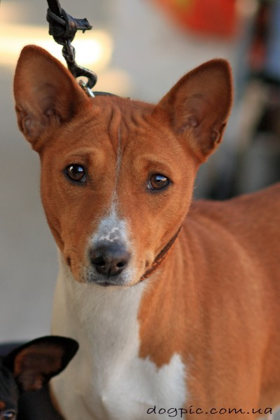 Фото собаки басенджи рыже - пегого окраса
