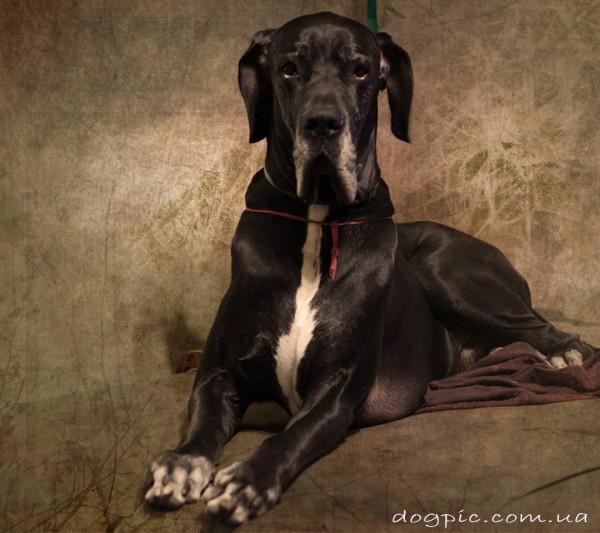 Фото собаки немецкого дога чёрного окраса