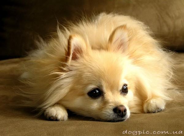 Фото собаки немецкого шпица светлого окраса