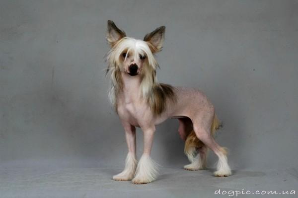 Красивая китайская хохлатая собака в полный рост
