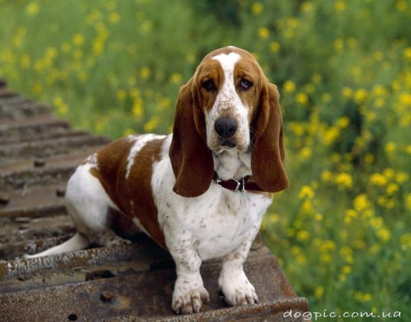 Красивая собака бассет - хаунд на фоне зелени