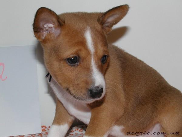 Красивое фото щенка басенджи с виноватым взглядом