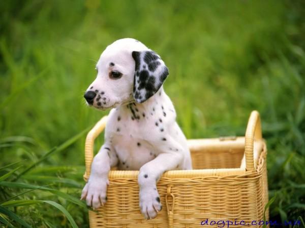Красивое фото щенка далматина в плетённой корзине