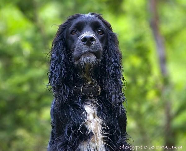 Красивый чёрный пёсик породы русского спаниеля