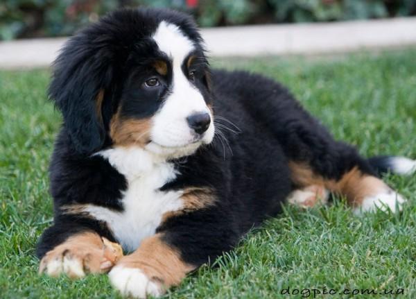 Красивый щенок бернского зенненхунда 1,5 месяца