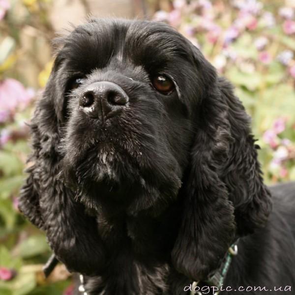 Красивый щенок русского спаниеля чёрного окраса