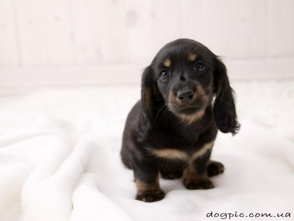 Маленький чёрный щенок бассет - хаунда