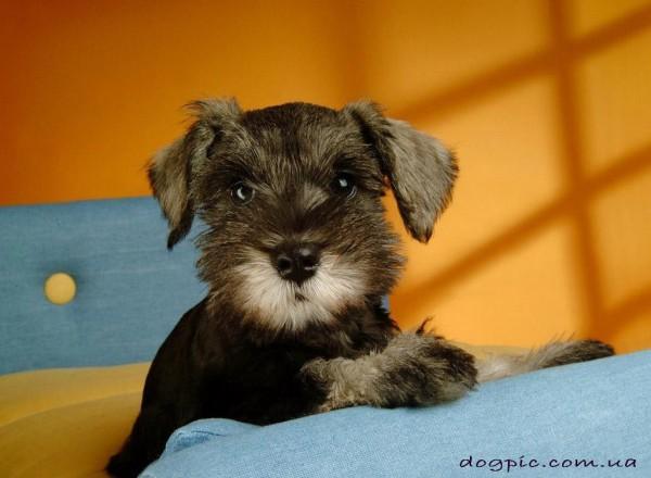 Маленький щенок шнауцера 1 месяц