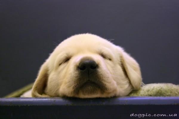 Мордочка спящего щенка лабрадора-ретривера