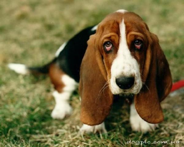 Невинный взгляд собаки бассет - хаунда