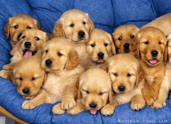 Очень много маленьких щенков золотистого ретривера