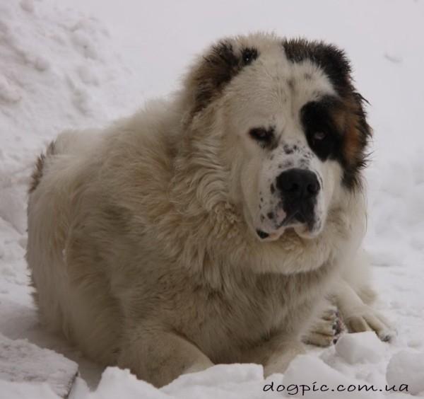 Огромный пёс породы среднеазиатской овчарки