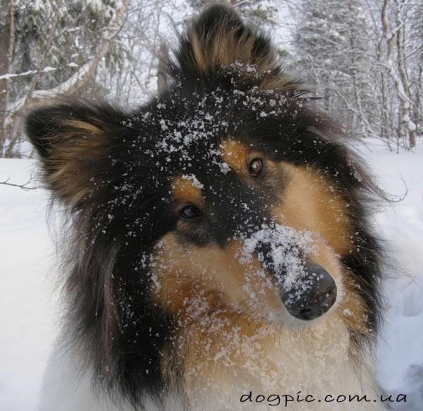 Пёс колли с мордочкой в снегу