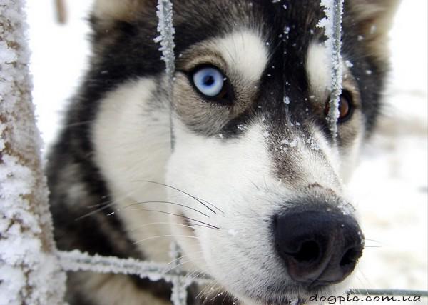 Пёс хаски сунул нос в металлическую сетку