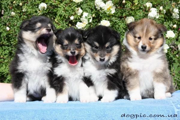 Семейное фото щенков шелти на природе